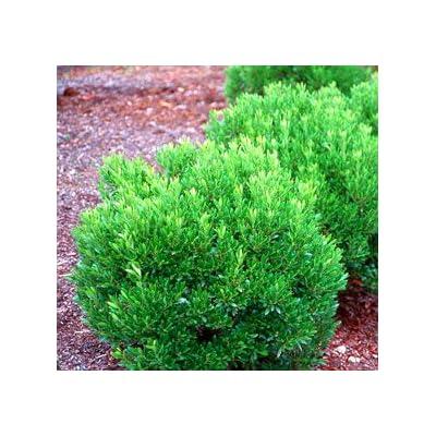 Shamrock Holly - Live Plants Shipped 1 Foot Tall by DAS Farms : Shrub Plants : Garden & Outdoor