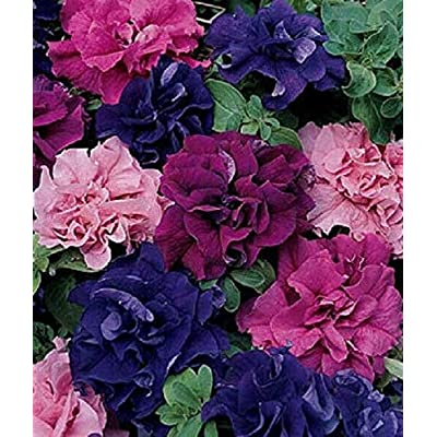 New!! - 50 Double Pink Red Purple Mix Petunia Seeds Containers Hanging Baskets Seed : Garden & Outdoor