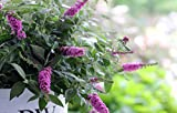 Lo & Behold 'Pink Micro Chip' Butterfly Bush (Buddleia) Live Shrub, Pink Flowers, 1 Gallon