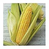 David's Garden Seeds Corn Sweet Golden Beauty AD1145 (Yellow) 100 Heirloom Seeds