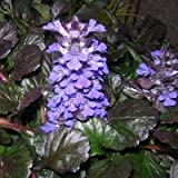 Classy Groundcovers - Bugleweed 'Black Scallop' Creeping Carpet Bugle 'Black Scallop', Sicklewort 'Black Scallop', Carpenter's Herb 'Black Scallop' {25 Pots - 3 1/2 in.}