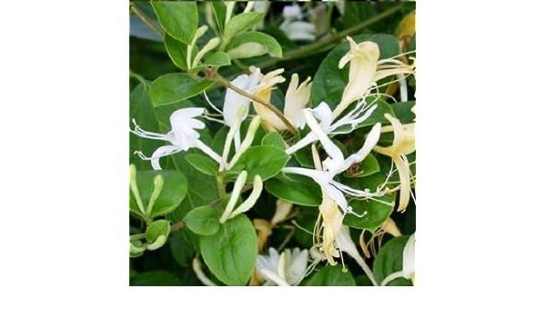 Madreselva Caprifolium (Lonicera): (para jardin, balcón y patio) – Maceta de 1.5 litro (Planta trepadora - Madreselva - Planta adulta) - Paredes y vallas, pérgola, balcones y terrazas - Resistente a las