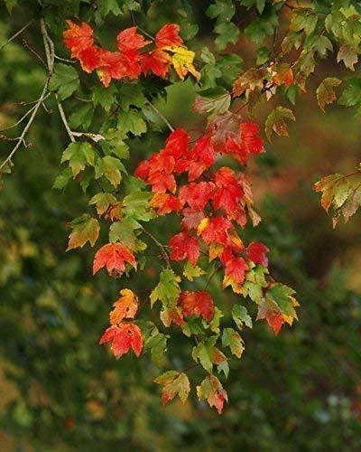 Amazon Com Fall Foliage Photograph Of Maple Leaves Fall Begins