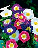 Seeds flower Convolvulus tricolor mix from Ukraine 1 gram