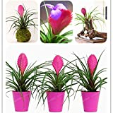 WANCHEN Tillandsia Cyanea Bonsai Tillandsia Orchid Potted Flower Bonsai Chinese Rare Bonsai Decoration for Home Garden Plantas 100 Pcs