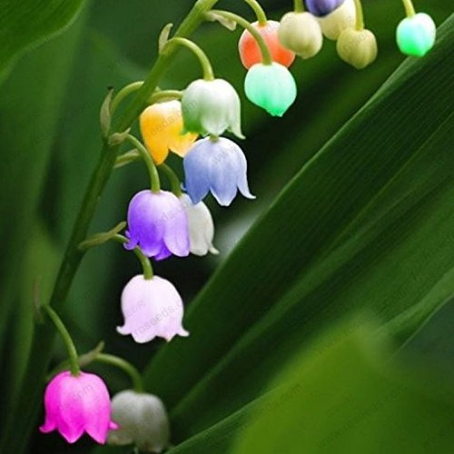Valley Lily Of The (free ship Lily of the Valley flower seeds, bell orchid seeds, rich aroma, bonsai flower seed, multi-colored orchids-40 seeds)