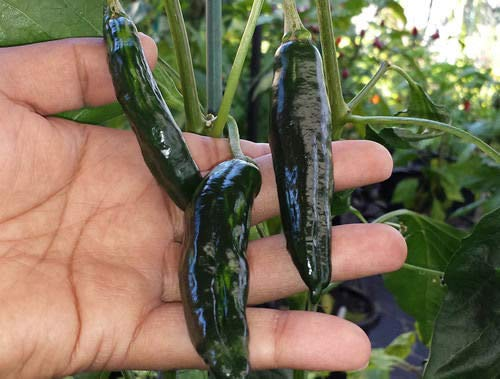 Casavidas Seeds Package: Beautiful Chilli Green-Stripe - A Mild Heat & Slightly Sweet Flavoured Pepper ()