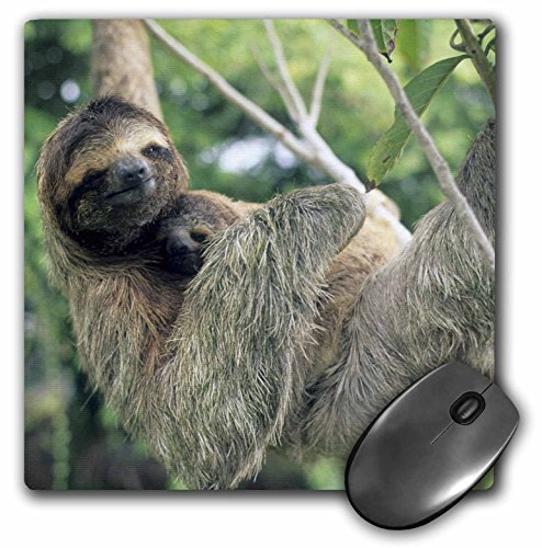 3Drose Llc 8 X 8 X 0.25 Inches Mouse Pad, Three Toed Sloth Wildlife Corcovado Np Costa Rica Kevin Schafer (Mp_87218_1) -
