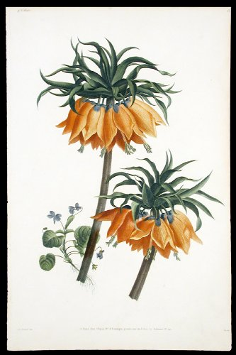 [Crown Imperial Lilies and a Violet] Etude d'Imperiale et Violette
