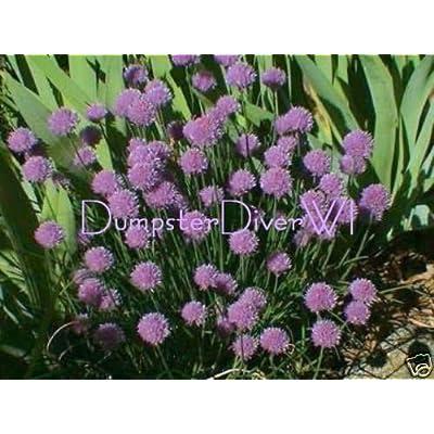 Verazui Chives Chive 50+ Seeds Hardy Perennial herb Allium mild Taste Organic Non-GMO : Garden & Outdoor