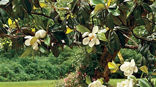 Amazon Com Magnolia Grandiflora Southern Magnolia Tree In