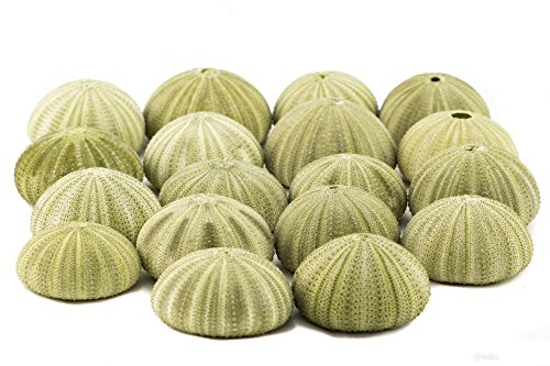 Sea Urchin | 18 Green Sea Urchin Shell |18 Green Sea Urchin Shells for Craft and Decor | Nautical Crush Trading TM