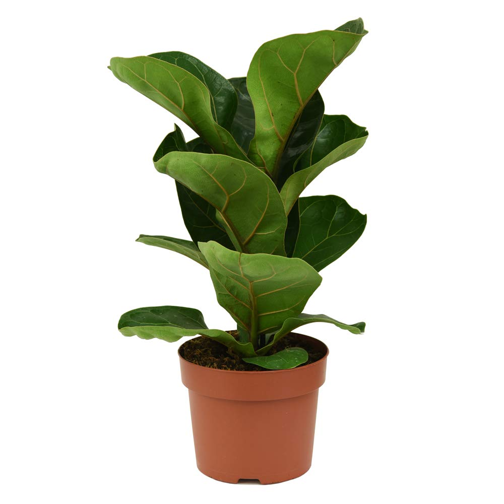 Fiddle Leaf Fig Air Purifying House Plant Tropical Looking ...
