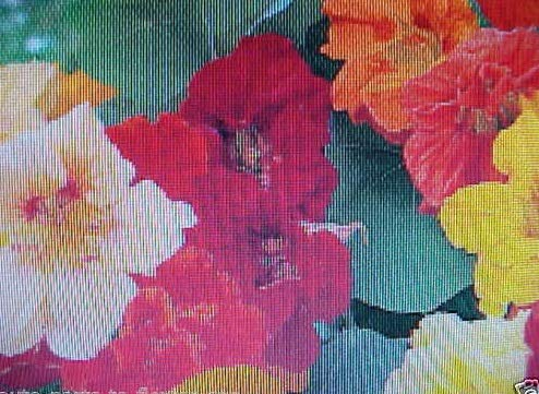 - 1/32 Pound Nasturtium Jewel Mix 125 Flower Seeds Apt003