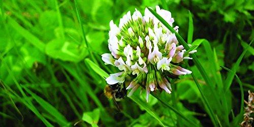 White Dutch Clover Grass
