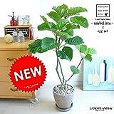 LAND PLANTS 【観葉植物】 ウンベラータ (茶色エッグポット)
