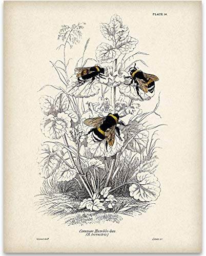 Bumble Bee Illustration - 11x14 Unframed Art Print - Great Gift Under $15 for Beekeepers and Nature Lovers