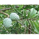12 Seeds Annona Squamosa Sugar Apple Tree