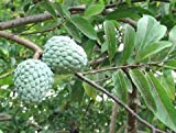 12 Seeds Annona Squamosa Sugar Apple Tree