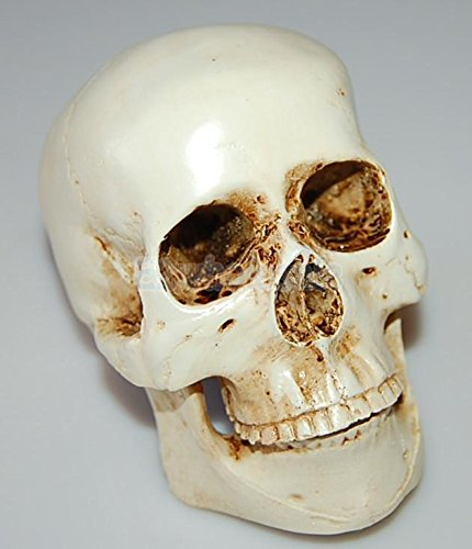 Resin Cranium Prop (Human Skull Cranium Replica Resin Model Medical Teach Party Bar Horror Prop)