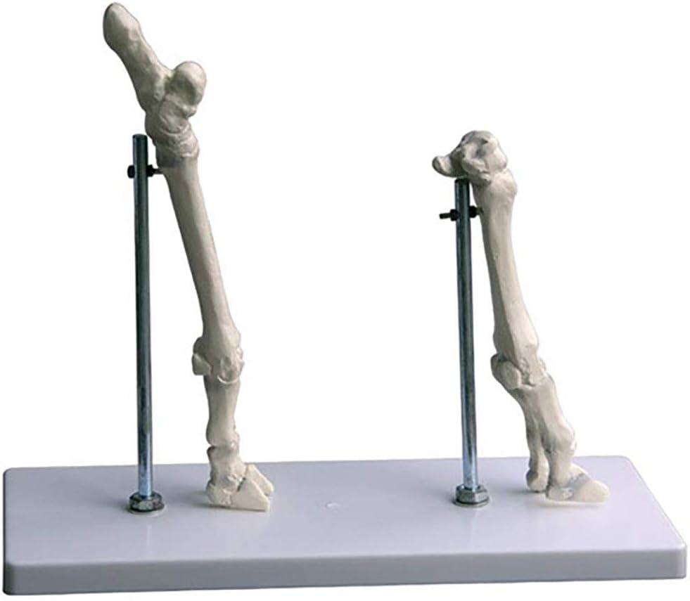 ZXQ Modelo de anatomía esquelética Animal Modelo de Esqueleto de extremidad Anterior y extremidad de Oveja para bioeducación Investigación médica Animal (32X13x27 Cm)