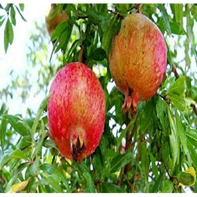 AchmadAnam 1 Gallon Plant Pot Yrad Pomegranate Russian Tree Cold Tolerant Very Sweet Fruit : Garden & Outdoor