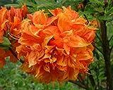 Gibraltar Orange Deciduous Azalea - Live Plant - Quart Pot