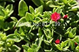New Arrival Home Garden Plant 30 Seeds Nice cuttings Red Apple Ice Plant Aptenia Cordifolia Seeds