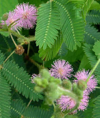 (Sensitive Plant-Mimosa pudica 50+ Seeds)