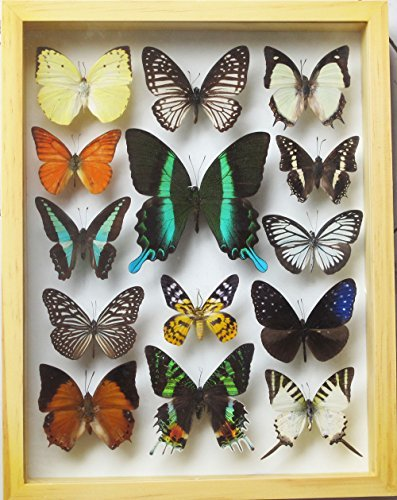 Swallowtail Butterfly Pictures - LUXURY FRAME DISPLAY REAL 14 BUTTERFLIES COLLECTION FOR DECOR WOOD COLOR