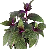 "Purple Passion 6"" Hanging Basket - EROTIC - Gynura - Indoors"