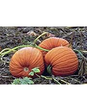 Pumpkin Seed, Mammoth Gold, Heirloom, Organic, Non Gmo 25+ Seeds, Large Pumpkins