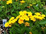 "LANTANA - NEW GOLD - GROUND COVER - MULTI COLOR - 3 PLANTS -3"" POTS"