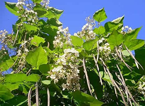 Image result for catalpa tree images
