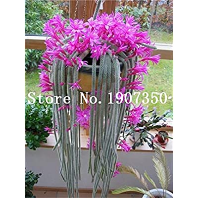 Kasuki 100 pcs Climbing Plant Echinopsis Tubiflora Flowering Cactus Bonsai Plant Rare Flower Perennial Ornamental Mini Plant Succulent - (Color: 4) : Garden & Outdoor