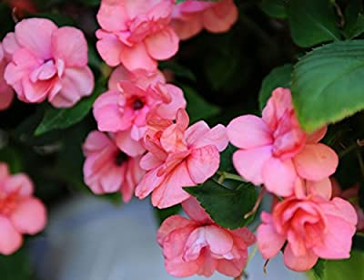"(AIMA)~""ATHENA CORAL PINK"" DOUBLE IMPATIENS-Seeds!~~~~Astonishing Double!"