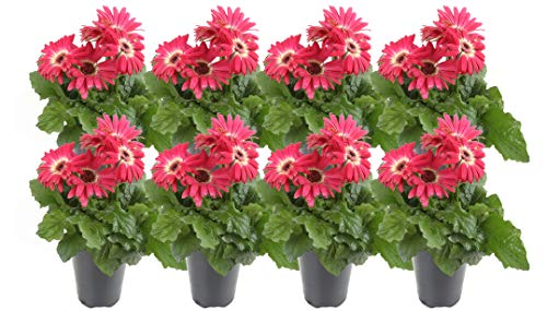Costa Farms Gerbera, Transvaal Daisy Live Outdoor Plant 1 QT Grower's Pot, 8-Pack, Pink by Costa Farms (Image #2)