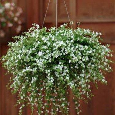 Outsidepride Bacopa Snowtopia White - 20 Seeds