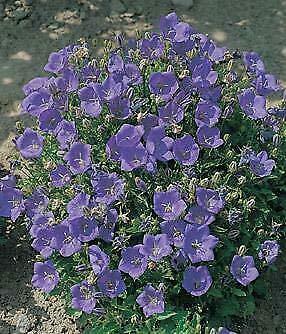 Campanula (Bellflower) carpatica Clips Deep Blue 1,000 Seeds