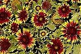 Gaillardia aristata Bijou 250 seeds