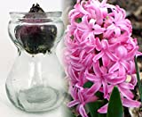 Clear Glass Hyacinth Vase + Pink Hyacinth Bulb