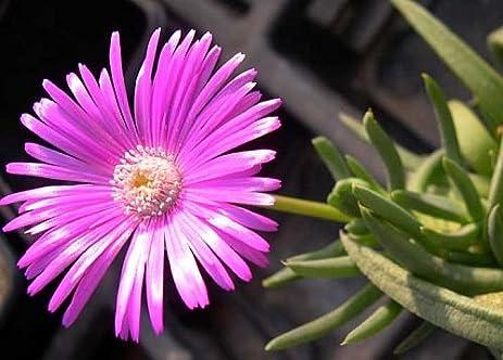 Amazon cephalophyllum pulchrum pink spike iceplant 10 cephalophyllum pulchrum pink spike iceplant 10 seeds mightylinksfo