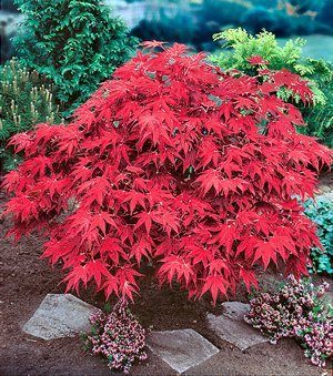 Nooelec Seeds India Japanese Maple Acer Palmatum Wolff Tree Seeds