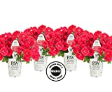 4-pack Proven Winners Supertunia Really Red Grown with Miracle-Gro Head Start Fertilizer (Petunia) Live Plant, Red Flowers, 4.25 in. Grande