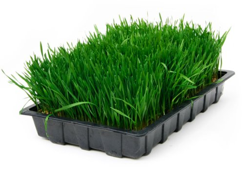 Todd's Seeds - Hard Red Wheatgrass - 5 Lb's - Sprouting Wheat Grass Seeds for Sale - Plant & Grow Wheatgrass, Flour, Grain & Bread - Wheatgrass Juice - Excellent Germination - Sprouting Seeds - Sprouted Wheat