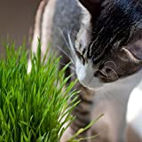 Foliage plant seeds wheat grass, cat grass seeds, wheat seeds,about 200 particles