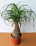 Organic Flower seeds Nolin Bottle Tree (Nolina recurvata) Plant indoor.