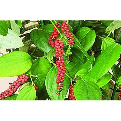 New Breed Dwarf Black/White peppercorns (Piper nigrum) for Growing/Germinating Fresh 10 Seeds : Garden & Outdoor