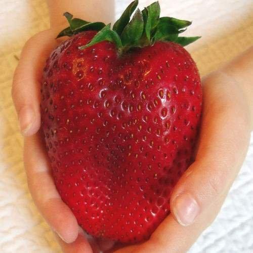- 100 Huge Strawberry Seeds Jumbo Size Juicy Sweet Rare Large Heirloom Super Giant