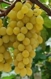 Golden Muscat Grape, Live Potted Seedless Grape Plant 2 Years Old